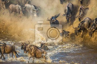 Los ñus están cruzando el río Mara. Gran migración. Kenia. Tanzania. Parque Nacional Maasai Mara.