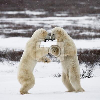Los osos polares en el Ártico de Canadá