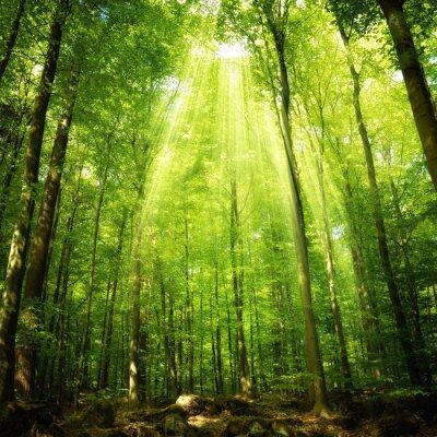 Póster Los rayos del sol en el bosque de hayas
