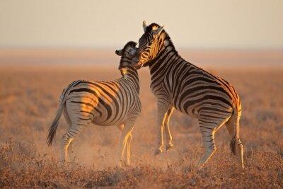Póster Luchar llanuras cebras, Parque Nacional de Etosha