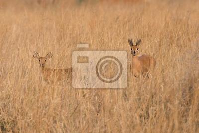 Macho y hembra Steenbock en la hierba