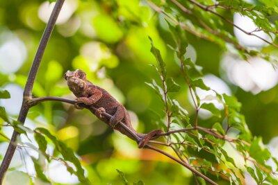 Póster Madagascar Lagarto