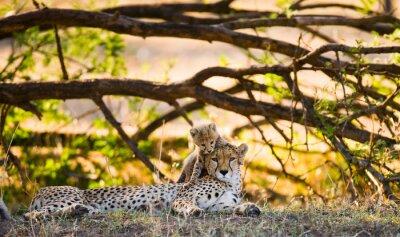 Madre guepardo y su cachorro en la sabana. Kenia. Tanzania. África. Parque Nacional. Serengeti. Maasai Mara. Una excelente ilustración.