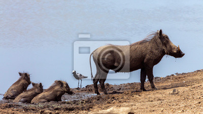 Madre jabalí común y tres cachorros de barro bañándose en el Parque Nacional Kruger, Sudáfrica; Especie Phacochoerus africanus familia de Suidae