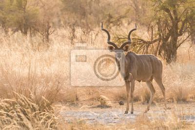Male Greater Kudu full body standing
