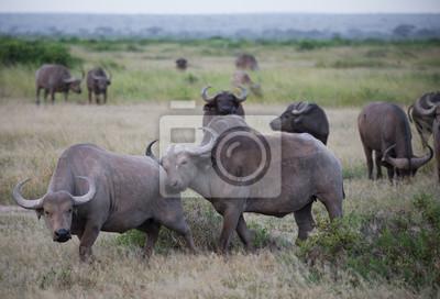 Manada de búfalos en la sabana africana
