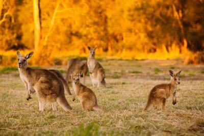 Póster Manada de canguros en el crepúsculo