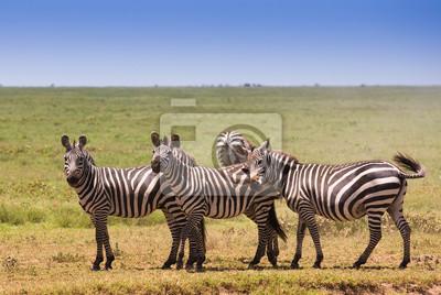 Manada de cebras en la sabana africana
