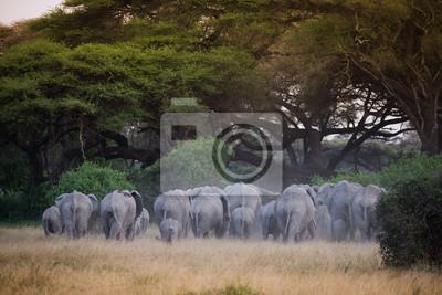 Manada de elefantes bajo el árbol de acacia en la luz del atardecer