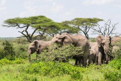Póster Manada de elefantes de pie entre los árboles de Acacia en el paisaje de Serengeti Savannah