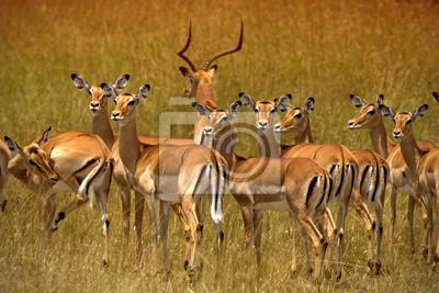 Manada de impalas en Ambosel