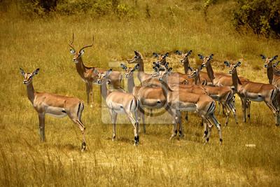 Manada de impalas en Masai Mara