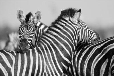 Póster Manada de la cebra en la foto en blanco y negro junto con los jefes
