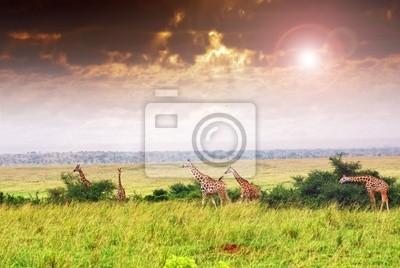Manada de la jirafa