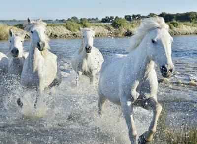 Póster Manada de los caballos blancos Correr y chapoteando en el agua