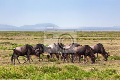 Manada ñus, ñu en la sabana africana