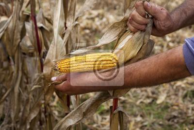 Manos que muestran hermosa mazorca de maíz en la cosecha
