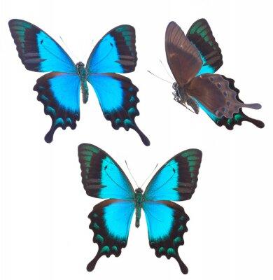 Póster Mar verde, Swallowtail, mariposa