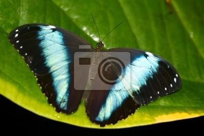 Mariposa Aquiles Morpho