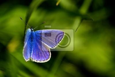 Mariposa azul común