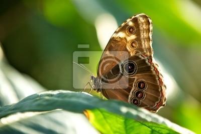 Mariposa azul de Morpho (peleides de Morpho)