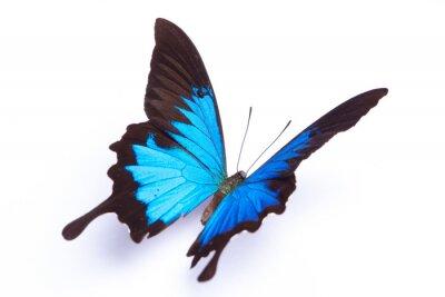 Póster Mariposa azul y colorido en el fondo blanco