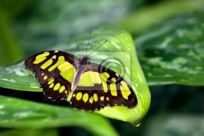 Mariposa de la malaquita
