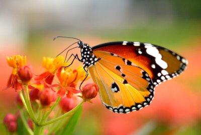 Póster Mariposa en la flor de naranja en el jardín
