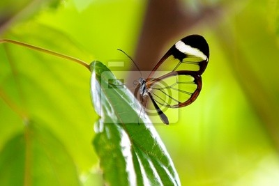Mariposa Glasswing