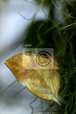Mariposa Leafwing india