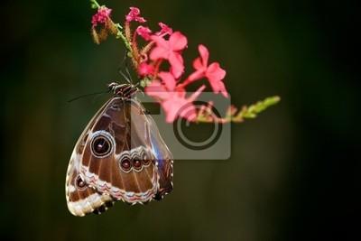 Mariposa Morpho azul colgando de una flor