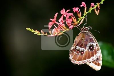 Mariposa Morpho azul colgando de una flor de color rosa