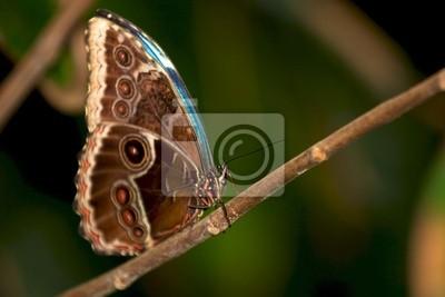 Mariposa Morpho azul con las alas cerradas