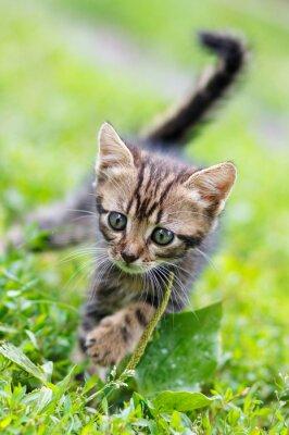 Póster Marrón rayas lindo gatito caminando sobre la hierba