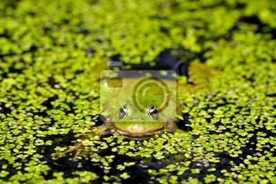Marsh rana en el estanque