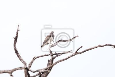 Martial Eagle Delta del Okavango