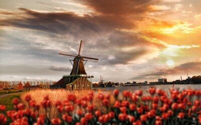 Póster Molinos de viento holandeses con tulipanes rojos cierran la Amsterdam, Holanda