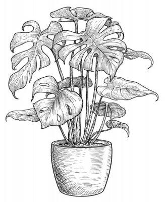 Póster Monstera illustration, drawing, engraving, ink, line art, vector