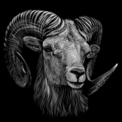 Póster Mountain sheep. Artistic, monochrome, black and white, hand-drawn portrait of a mountain sheep on a black background.