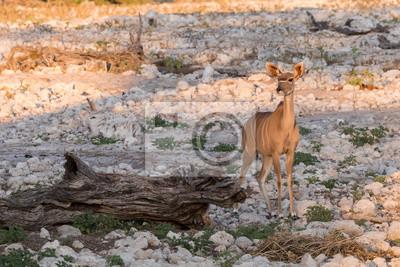 Mujer Kudu solo en el agujero