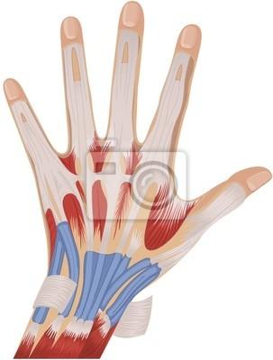 Músculos de la mano del hombre carteles para la pared • pósters ...