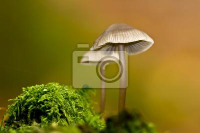 Mushroom Mycene en automne