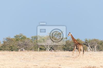 Namibia jirafa caminando contra un telón de fondo de mopani árboles