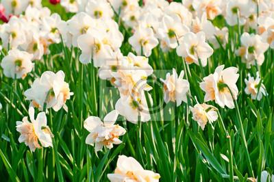 Narcisos amarillos hermosos