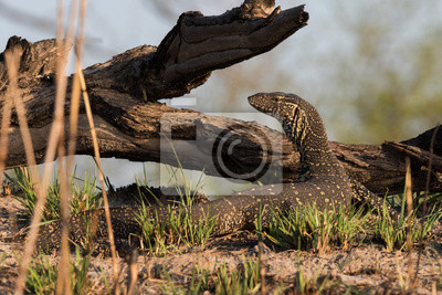 Nilo monitor lagarto posando