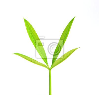 nuevas hojas verdes de árboles aislados en fondo blanco