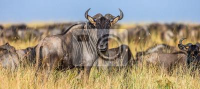 Ñus de pie en la sabana. Gran migración. Kenia. Tanzania. Parque Nacional Maasai Mara.