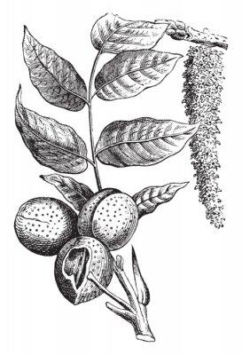 Póster Nut vintage illustration.