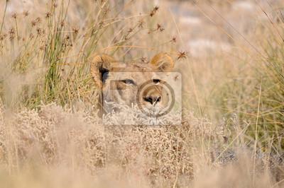 Ocultación de león