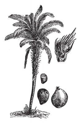 Póster Oil palm vintage illustration.